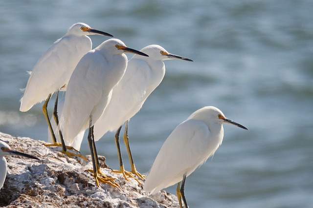 snowy-egrets-1550410_640.jpg